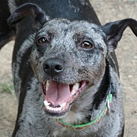 Adopt A Pet :: Harley Quinn - Great Falls, VA