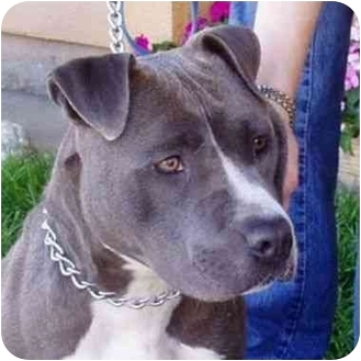 American Pit Bull Terrier Mix Dog for adoption in Berkeley, California - Sibyl