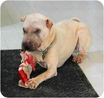 Shar Pei Dog for adoption in Houston, Texas - Ting