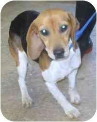 Beagle Mix Dog for adoption in Alliance, Ohio - # 11b Beagle - ADOPTED!