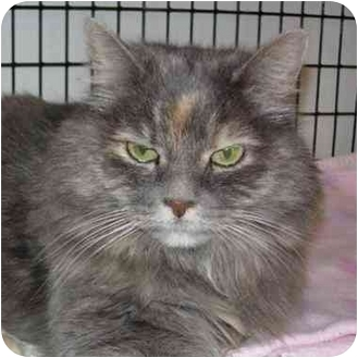 Domestic Longhair Cat for adoption in Denver, Colorado - Sybil