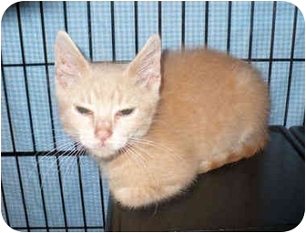 Domestic Mediumhair Kitten for adoption in Colmar, Pennsylvania - Caden