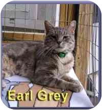 Domestic Shorthair Cat for adoption in Aldie, Virginia - Earl Grey
