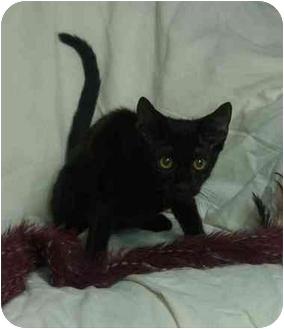 Domestic Shorthair Kitten for adoption in Little Rock, Arkansas - Taylor