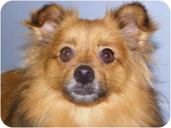 Pomeranian/Sheltie, Shetland Sheepdog Mix Dog for adoption in Hesperus, Colorado - BOWEN