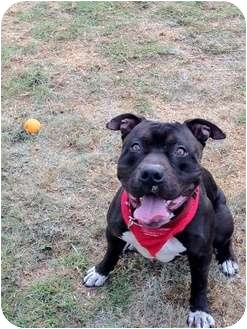 American Staffordshire Terrier Dog for adoption in Burbank, California - AUSTIN( great with kids)