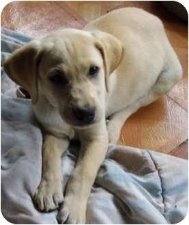 Labrador Retriever Mix Puppy for adoption in Bel Air, Maryland - Goldie