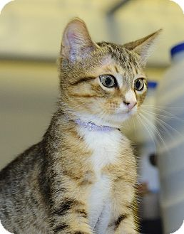 Domestic Shorthair Kitten for adoption in League City, Texas - MARCIA