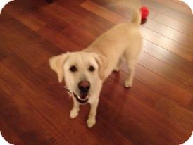 Labrador Retriever Dog for adoption in Oak Brook, Illinois - Brock