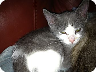 Domestic Shorthair Kitten for adoption in East Hanover, New Jersey - Gwen