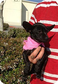 Dachshund/Chihuahua Mix Puppy for adoption in Santee, California - Plato