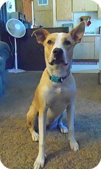 Akita Mix Dog for adoption in Yuba City, California - Bella
