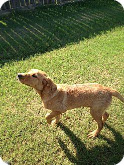 Golden Retriever/Labrador Retriever Mix Dog for adoption in Naugatuck, Connecticut - Blake