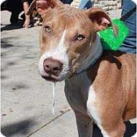 Adopt A Pet :: Storm - Arlington, TX