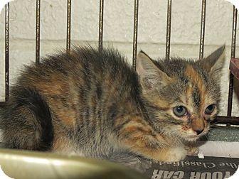 Calico Kitten for adoption in Henderson, North Carolina - Betty