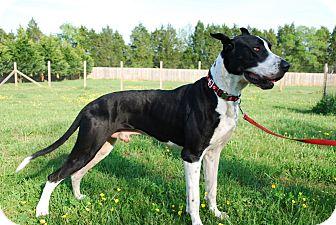 Great Dane Dog for adoption in Manassas, Virginia - Capone - Courtesy Listing
