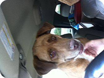 Labrador Retriever Mix Dog for adoption in Littleton, Colorado - MISTY