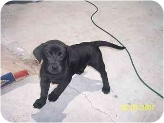 Labrador Retriever/American Bulldog Mix Puppy for adoption in Port. St. Lucie, Florida - Shadow