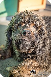 Cockapoo Mix Dog for adoption in Evansville, Indiana - Marvin