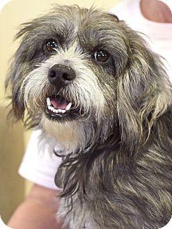 Schnauzer (Standard)/Terrier (Unknown Type, Medium) Mix Dog for adoption in Huntsville, Alabama - Henry