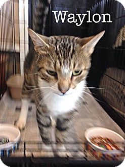 Domestic Shorthair Cat for adoption in Williamston, North Carolina - Waylon