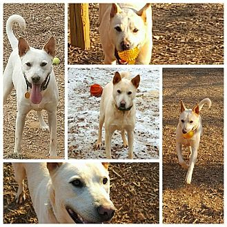 Shepherd (Unknown Type)/Labrador Retriever Mix Dog for adoption in Gainesville, Georgia - marley