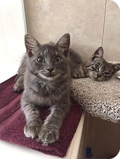 Maine Coon Cat for adoption in Houston, Texas - Nickel