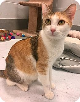 Calico Cat for adoption in St. Louis, Missouri - Snickers
