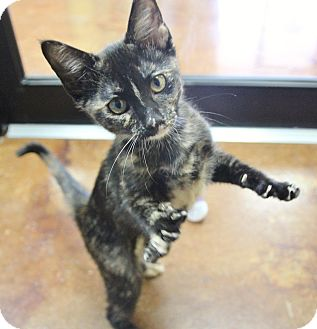 Domestic Shorthair Kitten for adoption in Benbrook, Texas - Marion