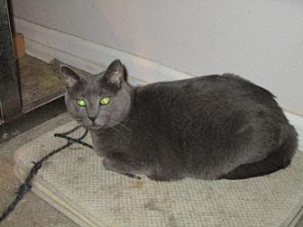 Russian Blue Cat for adoption in St. Louis, Missouri - Pollyanna (Russian Blue Mix)