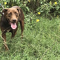 Adopt A Pet :: Rose - East Hartford, CT