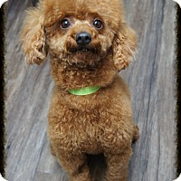 Poodle (Miniature) Dog for adoption in Los Alamitos, California - Ember