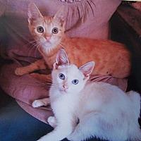 Adopt A Pet :: Yams - Sherman Oaks, CA