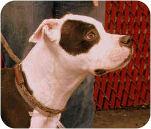 American Staffordshire Terrier/Boxer Mix Dog for adoption in New York, New York - Mooch