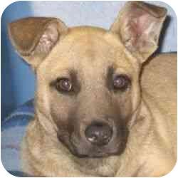 Belgian Malinois/German Shepherd Dog Mix Puppy for adoption in Berkeley, California - Teddy