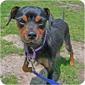 Miniature Pinscher/Jack Russell Terrier Mix Dog for adoption in San Clemente, California - LOLA