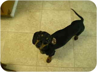 Dachshund Dog for adoption in Jacobus, Pennsylvania - Peanut - MD