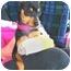 Photo 1 - Miniature Pinscher Puppy for adoption in Vista, California - Zito