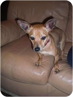 Chihuahua/Dachshund Mix Dog for adoption in Newbury Park, California - Scout