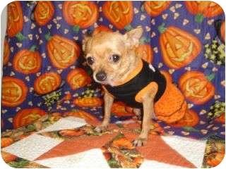 Chihuahua Dog for adoption in Corpus Christi, Texas - Tina