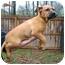 Photo 2 - Boxer/Labrador Retriever Mix Puppy for adoption in Westport, Connecticut - *Laila - PENDING