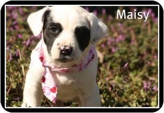 Labrador Retriever Mix Puppy for adoption in Cranford, New Jersey - Maisy