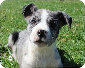 Australian Shepherd Mix Puppy for adoption in Salem, New Hampshire - Gaston