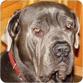Neapolitan Mastiff Dog for adoption in Gilbert, Arizona - Toby