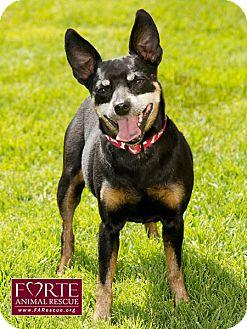 Manchester Terrier/Lancashire Heeler Mix Dog for adoption in Marina del Rey, California - Rocky