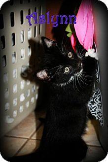 Domestic Shorthair Kitten for adoption in Yuba City, California - Aslynn the Kitten