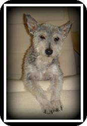 Schnauzer (Miniature)/Poodle (Miniature) Mix Dog for adoption in Indian Trail, North Carolina - Mowgli