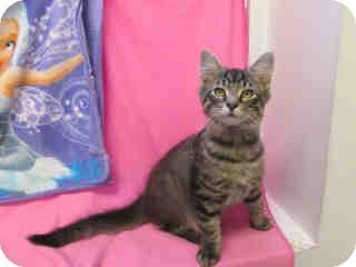 Domestic Mediumhair Kitten for adoption in Arlington, Virginia - Hunter
