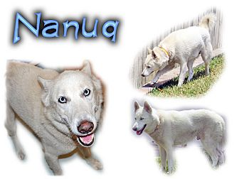 Siberian Husky Dog for adoption in Seminole, Florida - Nanuq