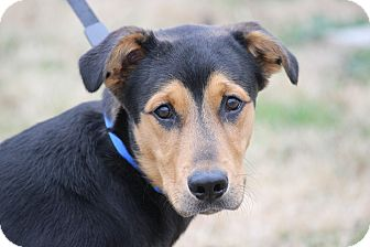 Shepherd (Unknown Type) Mix Puppy for adoption in Hershey, Pennsylvania - Spence